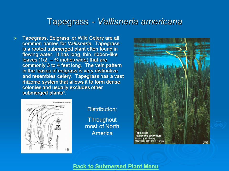 Tapegrass - Vallisneria americana