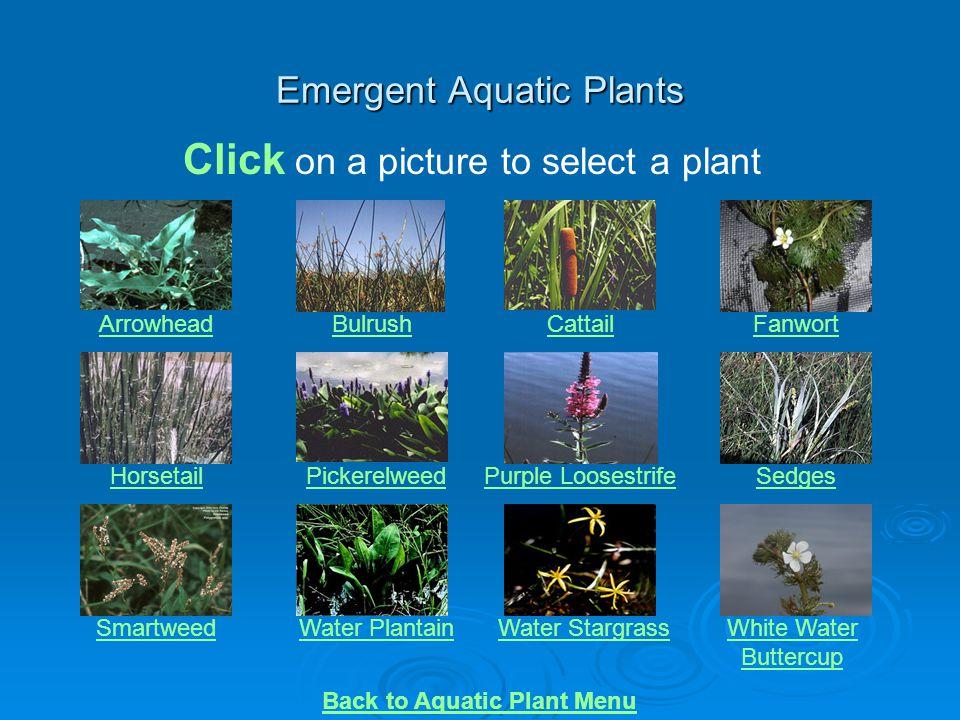 Emergent Aquatic Plants
