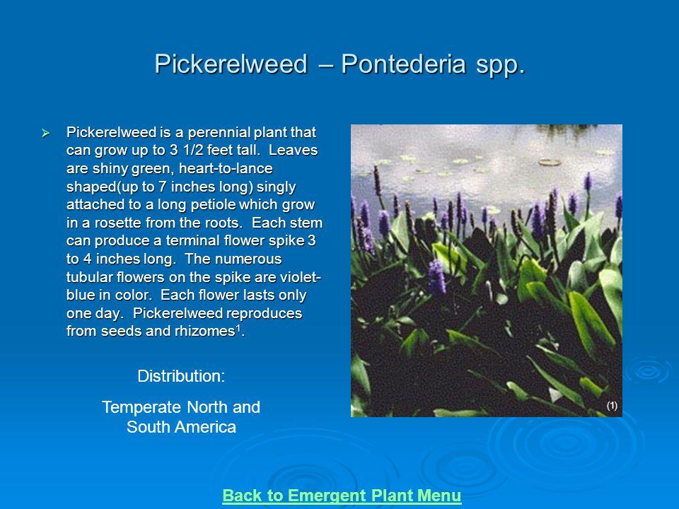 Pickerelweed – Pontederia spp.