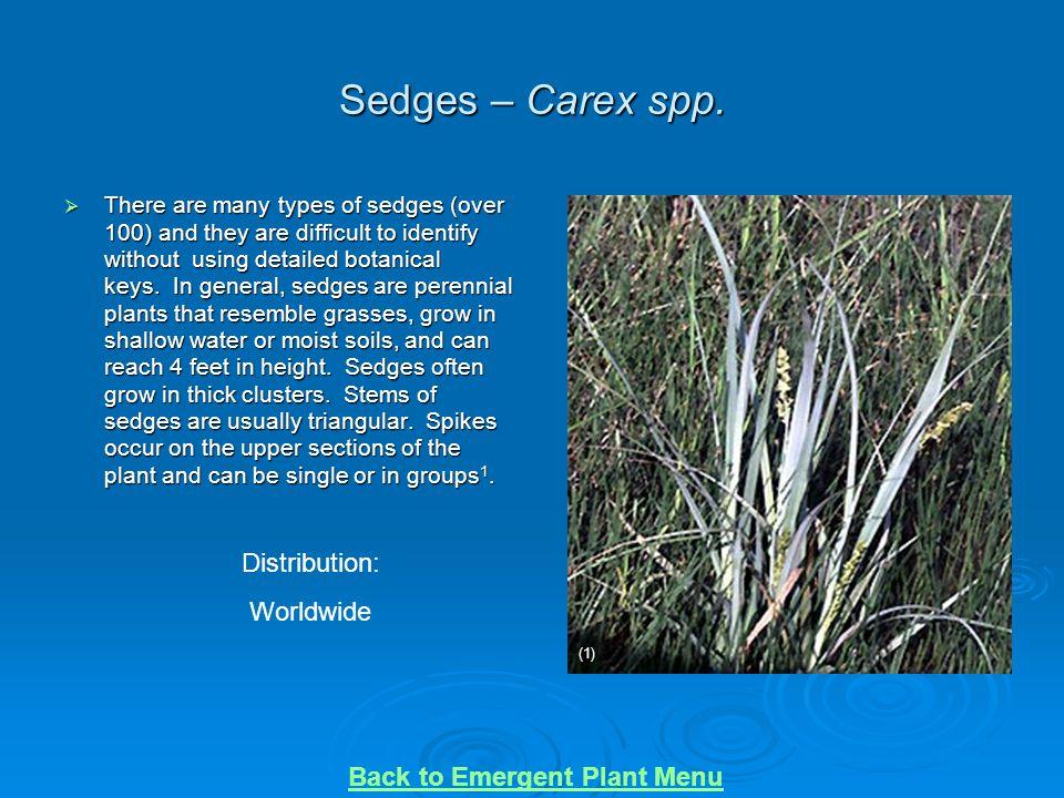 Sedges – Carex spp. Distribution: Worldwide