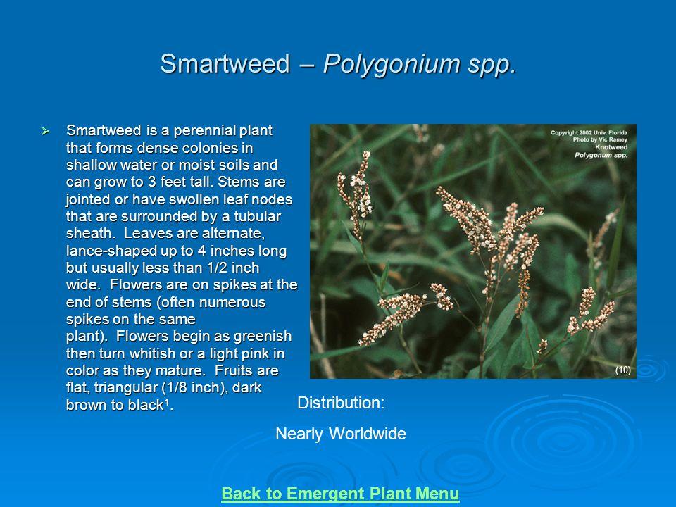 Smartweed – Polygonium spp.