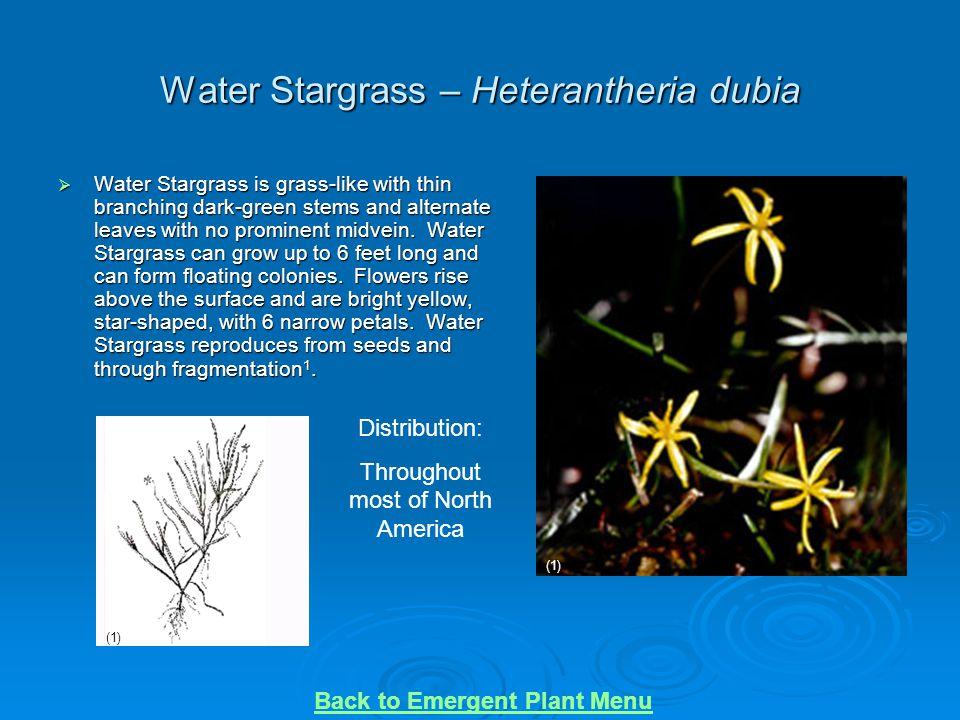 Water Stargrass – Heterantheria dubia