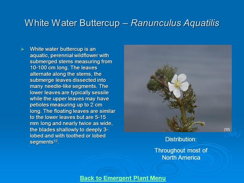 White Water Buttercup – Ranunculus Aquatilis