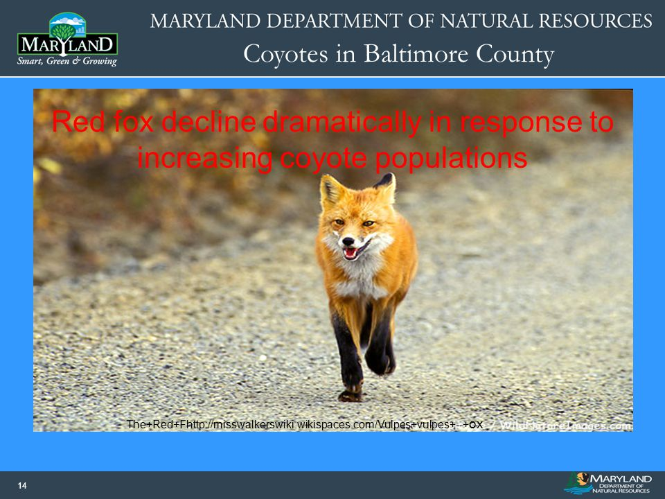 Red fox decline dramatically in response to increasing coyote populations