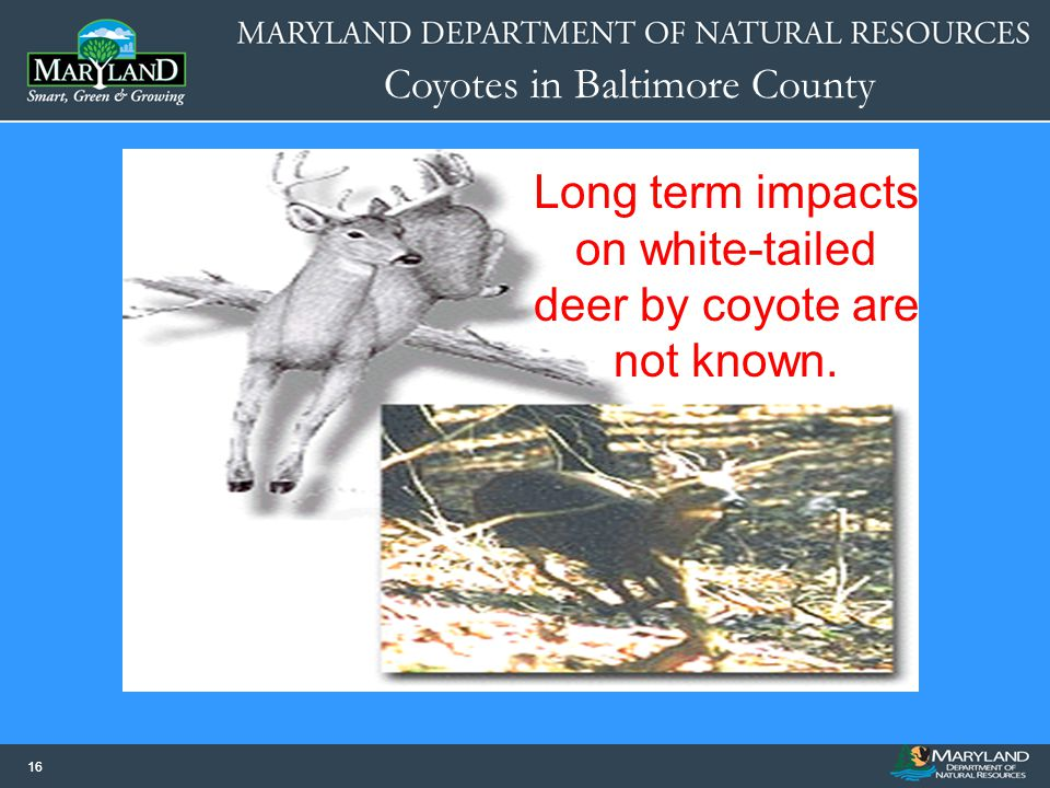 Long term impacts on white-tailed deer by coyote are not known.