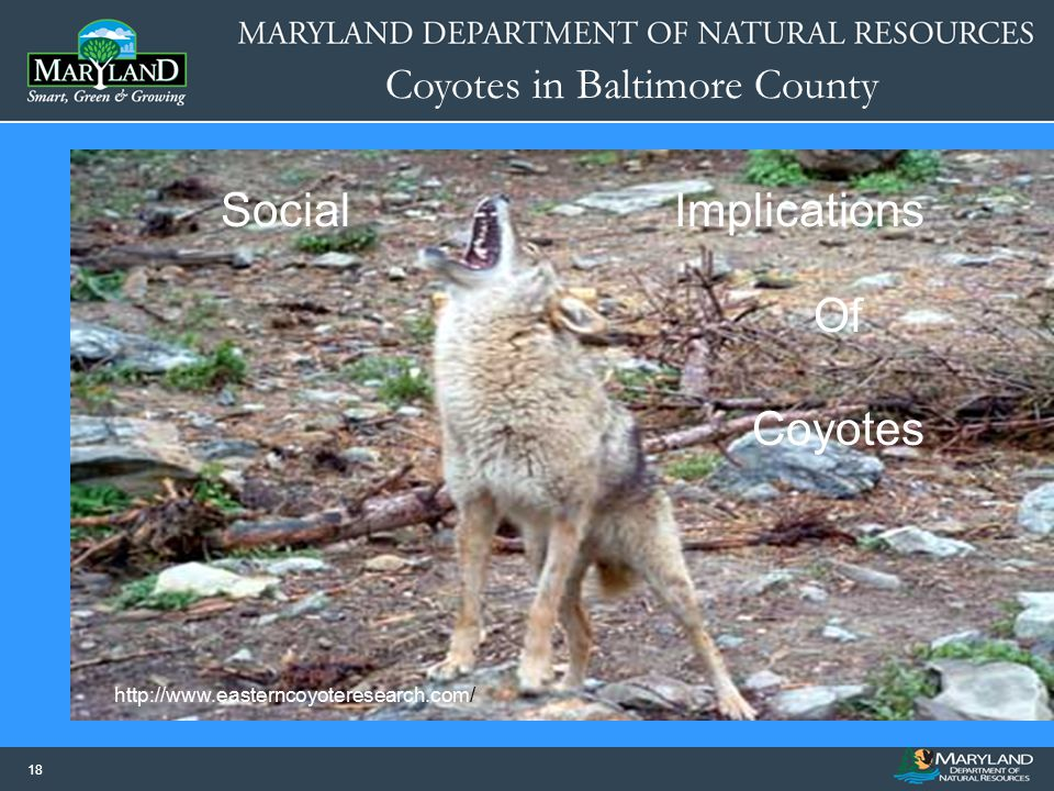 Social Implications Of Coyotes http://www.easterncoyoteresearch.com/