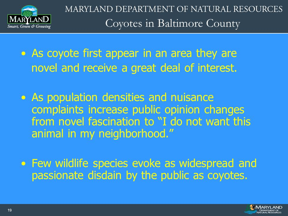 As coyote first appear in an area they are