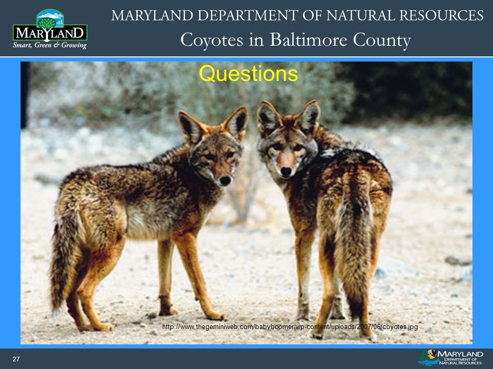 Questions http://www.thegeminiweb.com/babyboomer/wp-content/uploads/2007/06/coyotes.jpg