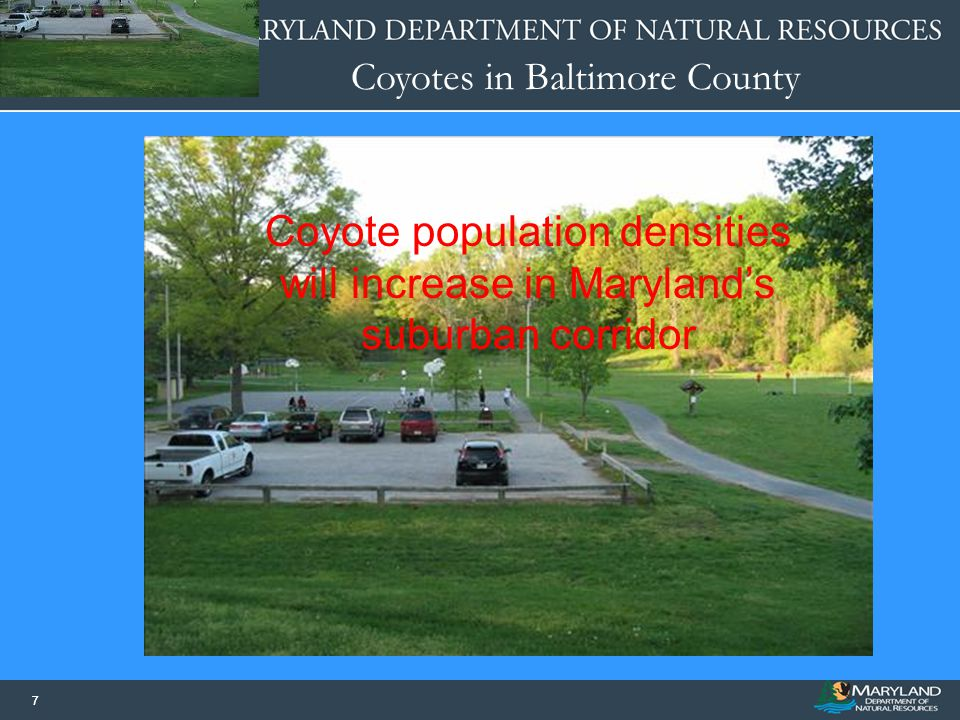 Coyote population densities will increase in Maryland's