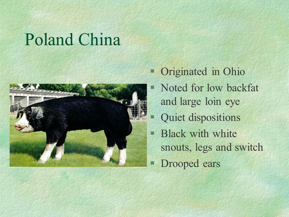 Poland China Originated in Ohio