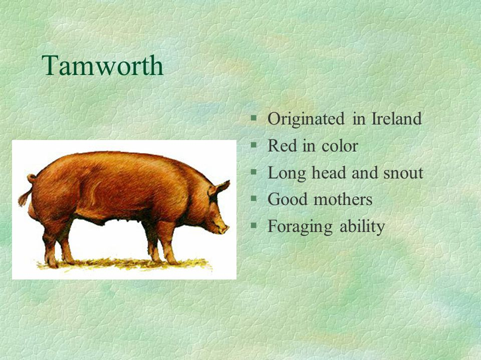 Tamworth Originated in Ireland Red in color Long head and snout