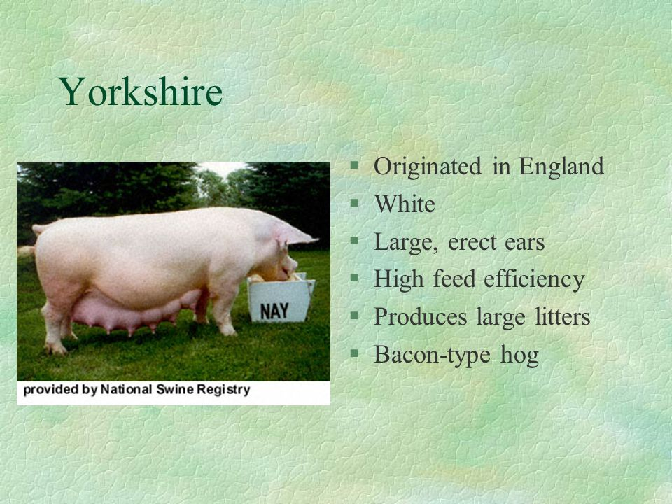 Yorkshire Originated in England White Large, erect ears