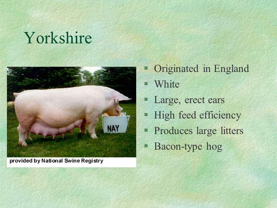 Yorkshire Originated in England White Large, erect ears