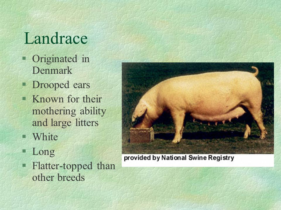Landrace Originated in Denmark Drooped ears