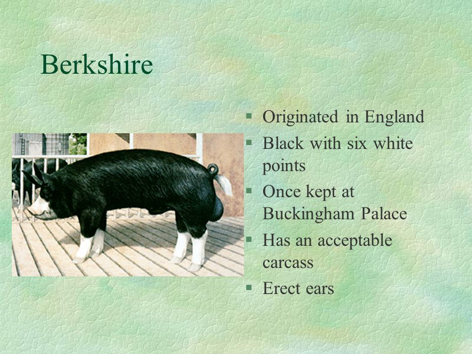 Berkshire Originated in England Black with six white points