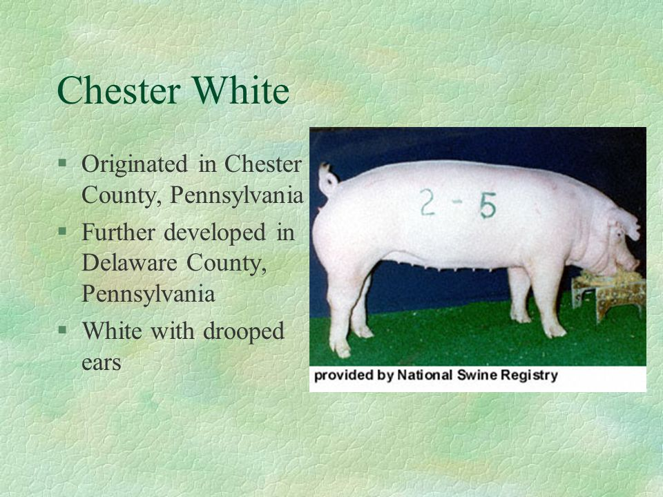 Chester White Originated in Chester County, Pennsylvania