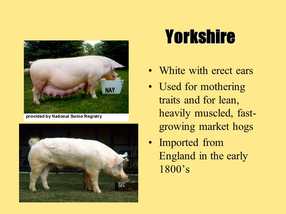 Yorkshire White with erect ears