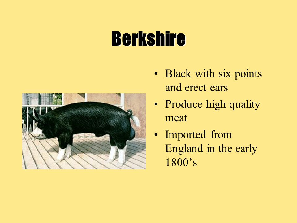 Berkshire Black with six points and erect ears