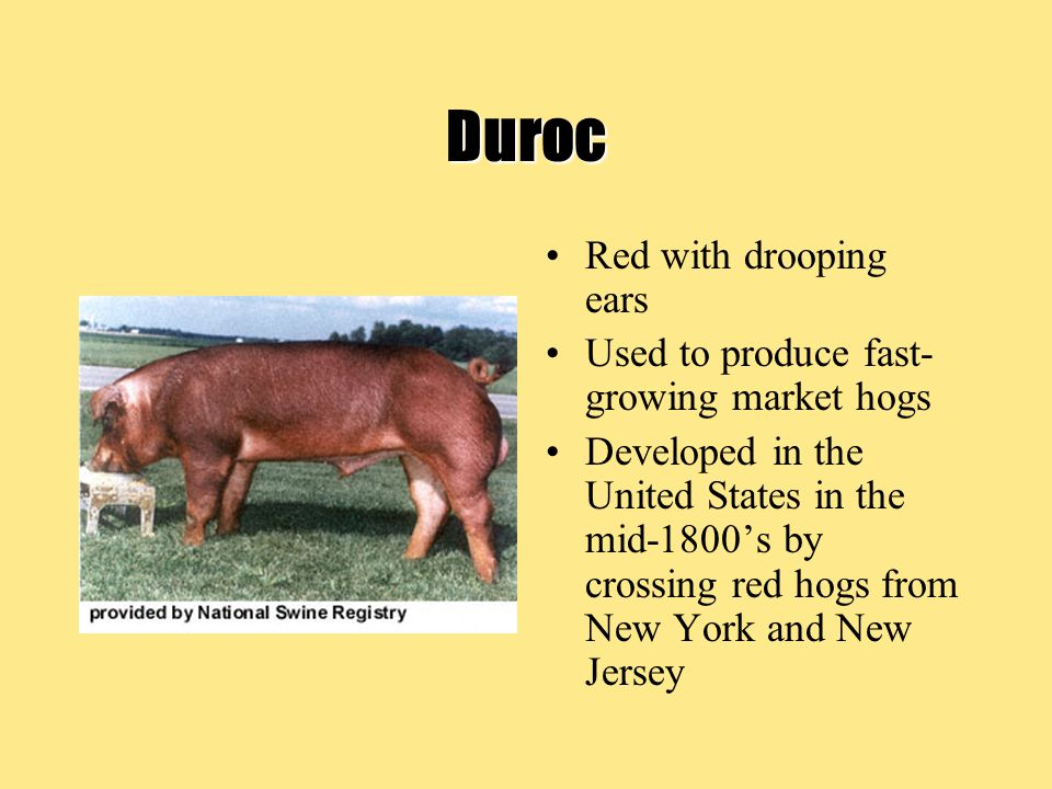 Duroc Red with drooping ears Used to produce fast-growing market hogs