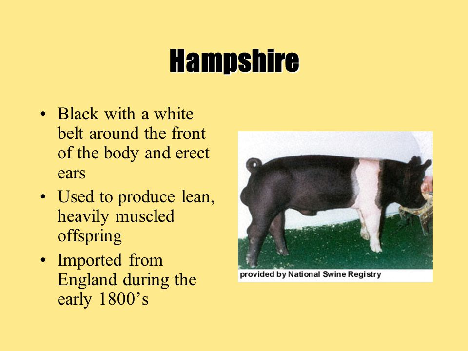 Hampshire Black with a white belt around the front of the body and erect ears. Used to produce lean, heavily muscled offspring.