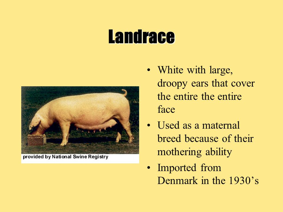 Landrace White with large, droopy ears that cover the entire the entire face. Used as a maternal breed because of their mothering ability.