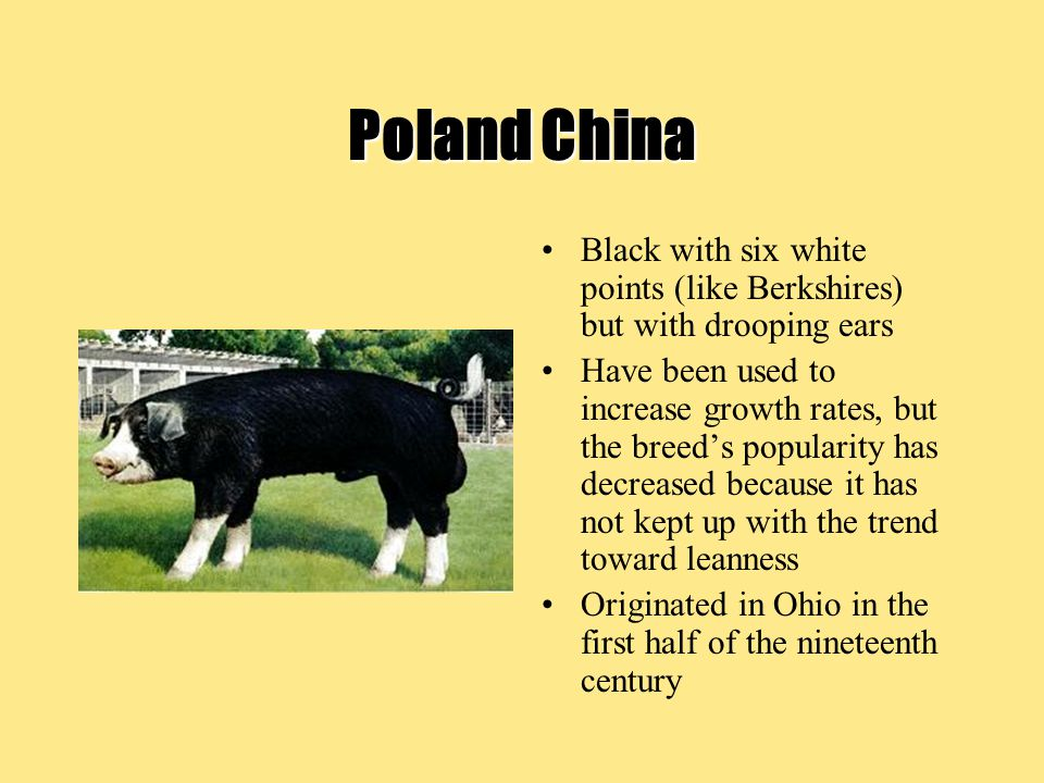 Poland China Black with six white points (like Berkshires) but with drooping ears.