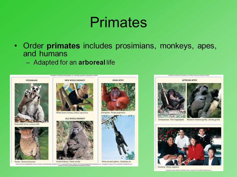 Primates Order primates includes prosimians, monkeys, apes, and humans