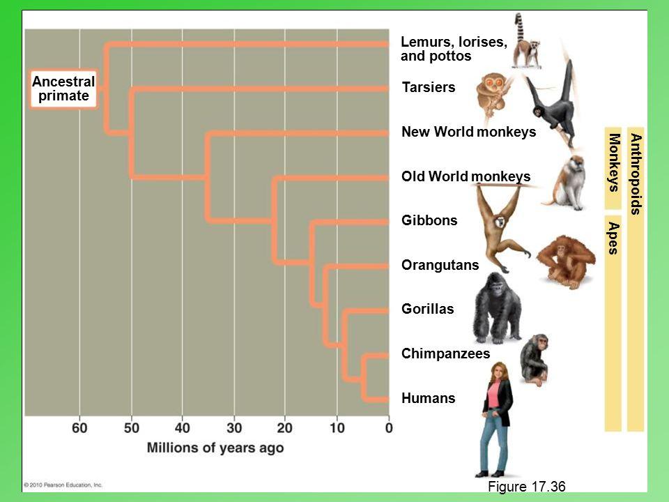Lemurs, lorises, and pottos Ancestral Tarsiers primate