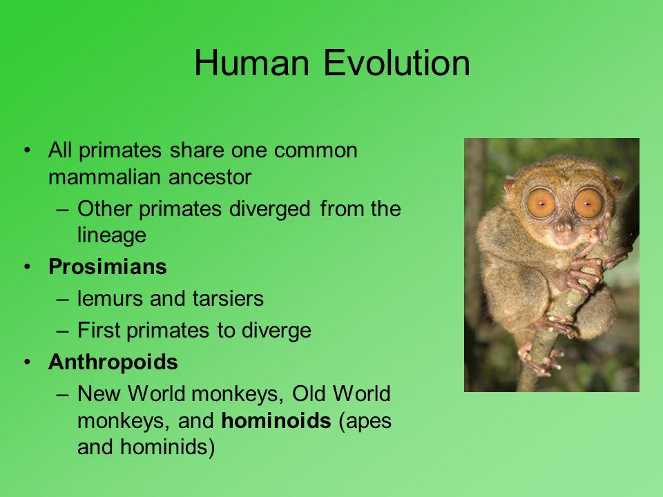 Human Evolution All primates share one common mammalian ancestor
