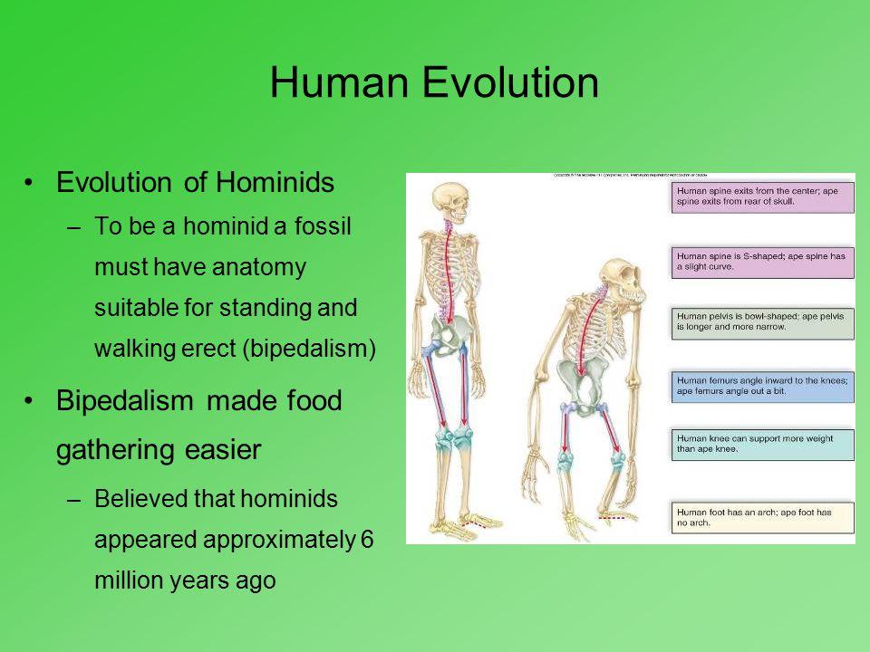 Human Evolution Evolution of Hominids