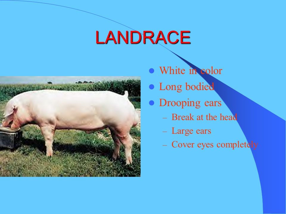 LANDRACE White in color Long bodied Drooping ears Break at the head