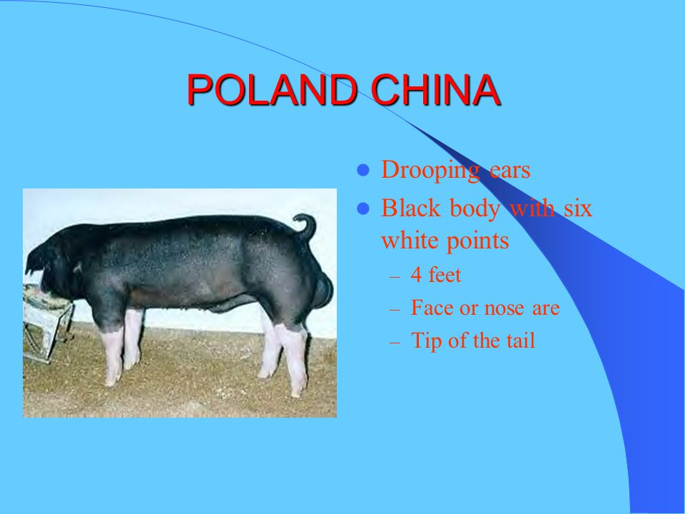 POLAND CHINA Drooping ears Black body with six white points 4 feet