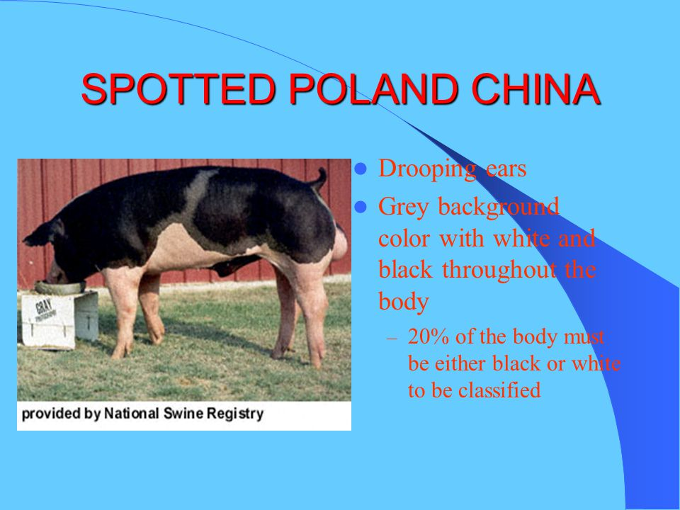 SPOTTED POLAND CHINA Drooping ears