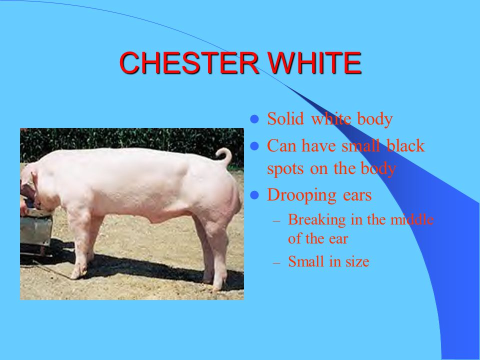 CHESTER WHITE Solid white body Can have small black spots on the body