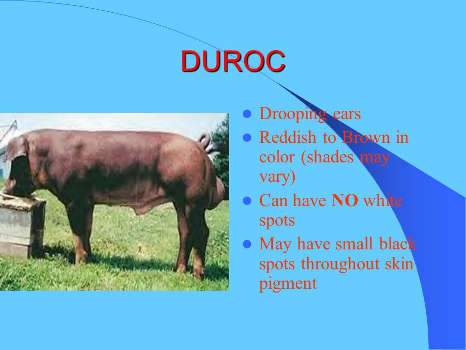 DUROC Drooping ears Reddish to Brown in color (shades may vary)