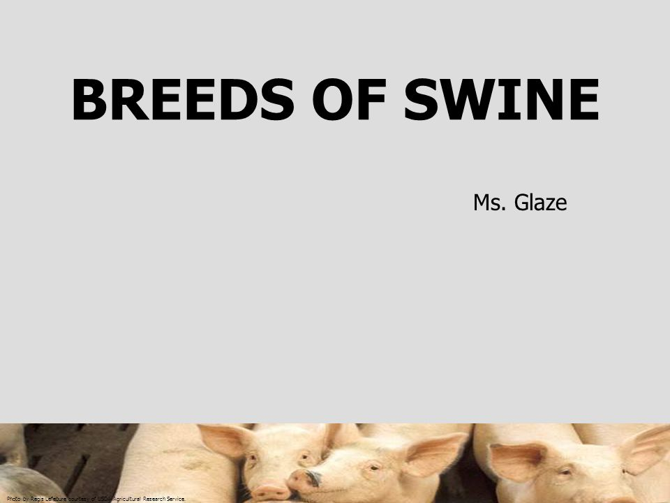 BREEDS OF SWINE Ms. Glaze