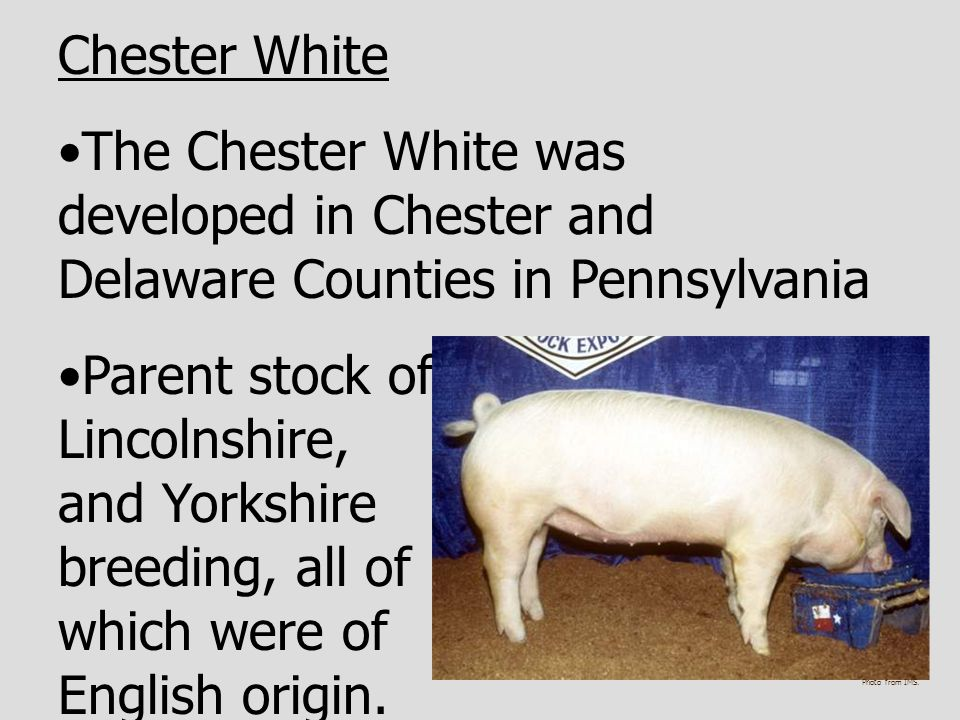 Chester White The Chester White was developed in Chester and Delaware Counties in Pennsylvania.
