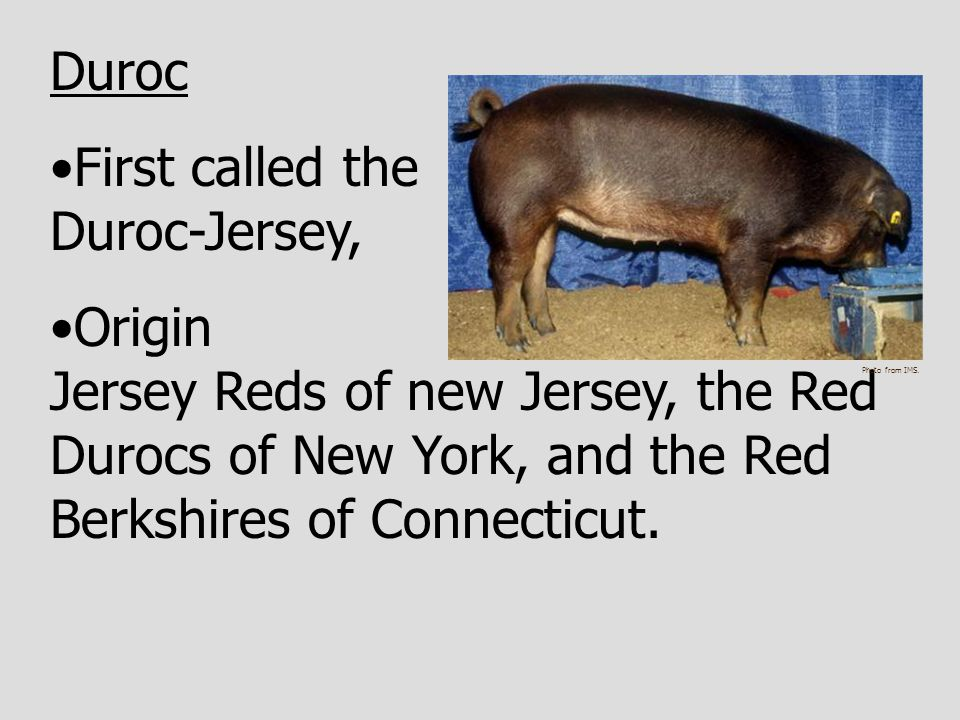 First called the Duroc-Jersey,
