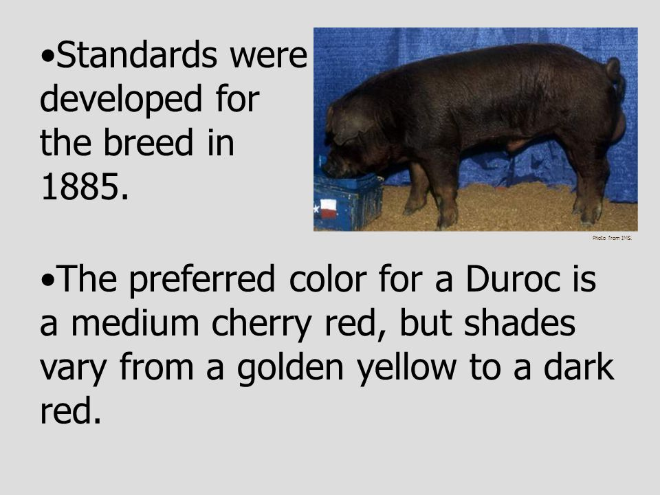 Standards were developed for the breed in 1885.