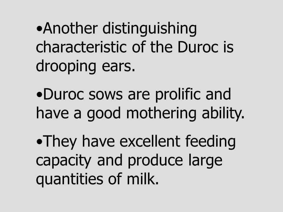 Another distinguishing characteristic of the Duroc is drooping ears.