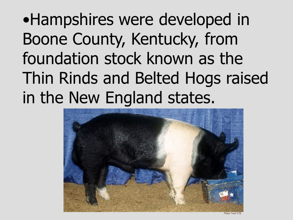 Hampshires were developed in Boone County, Kentucky, from foundation stock known as the Thin Rinds and Belted Hogs raised in the New England states.
