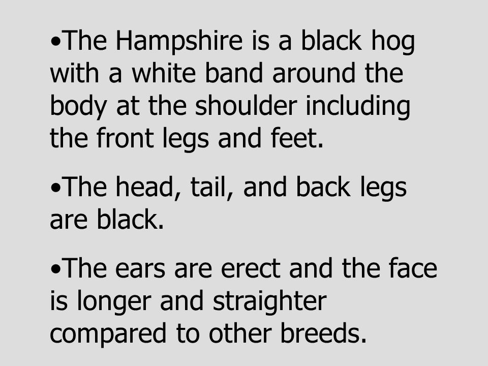 The Hampshire is a black hog with a white band around the body at the shoulder including the front legs and feet.
