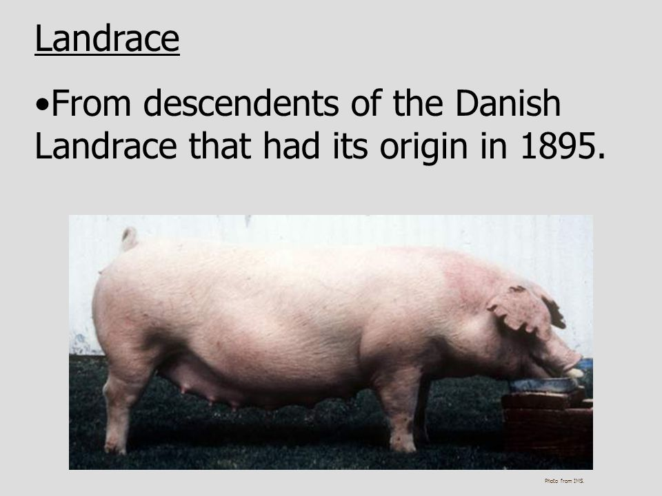 Landrace From descendents of the Danish Landrace that had its origin in 1895. Photo from IMS.