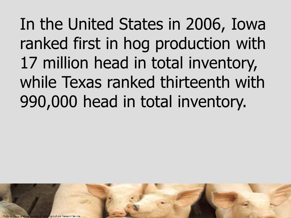 In the United States in 2006, Iowa ranked first in hog production with 17 million head in total inventory, while Texas ranked thirteenth with 990,000 head in total inventory.