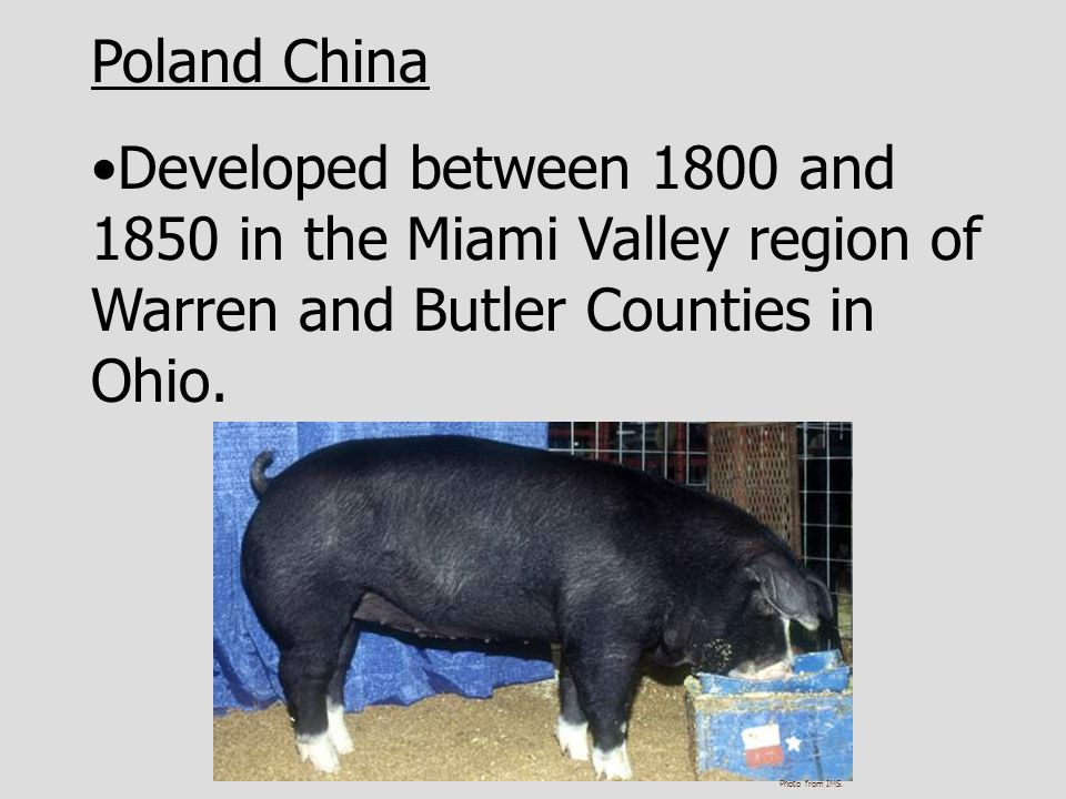 Poland China Developed between 1800 and 1850 in the Miami Valley region of Warren and Butler Counties in Ohio.