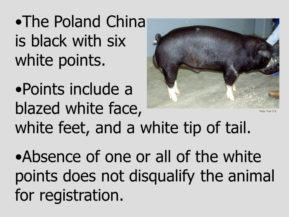 The Poland China is black with six white points.