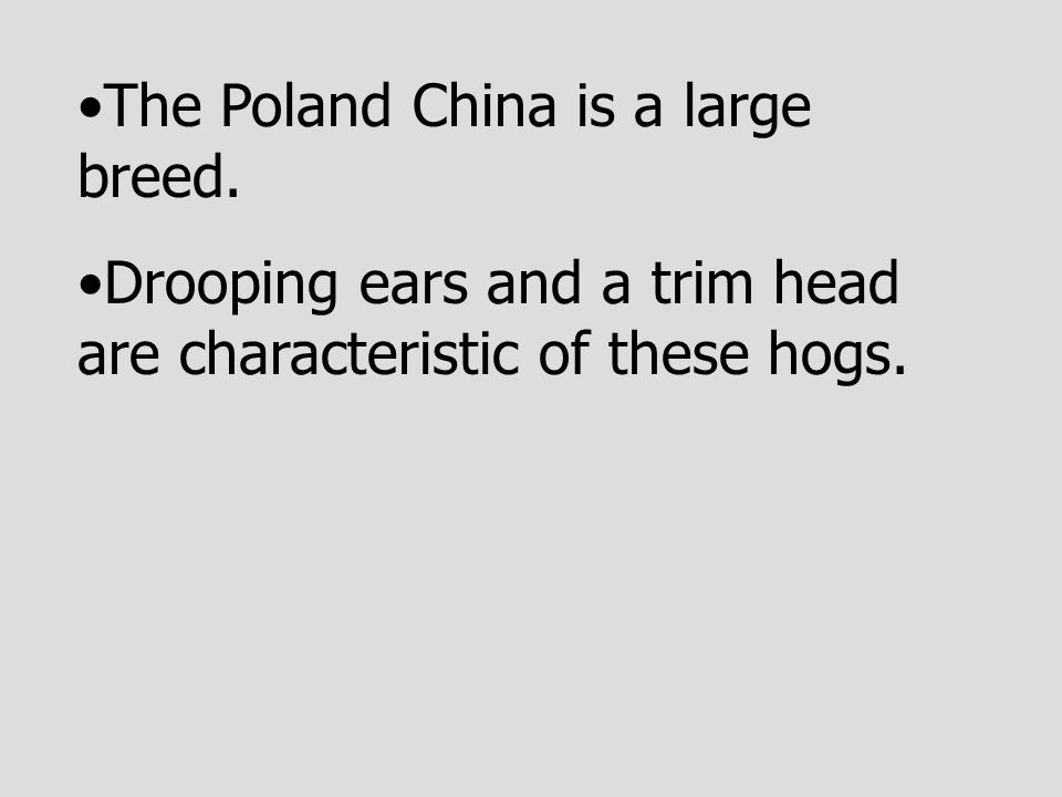 The Poland China is a large breed.