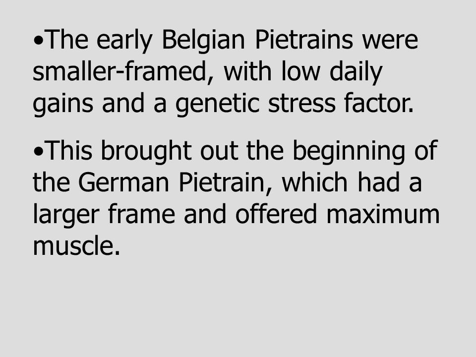 The early Belgian Pietrains were smaller-framed, with low daily gains and a genetic stress factor.