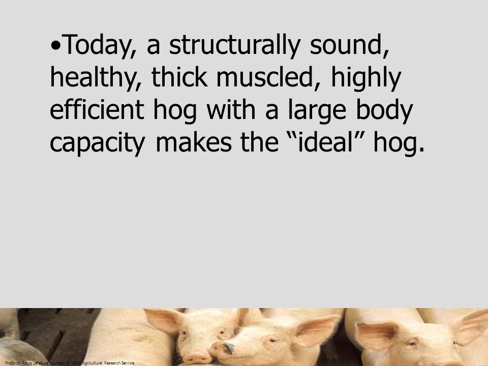 Today, a structurally sound, healthy, thick muscled, highly efficient hog with a large body capacity makes the ideal hog.