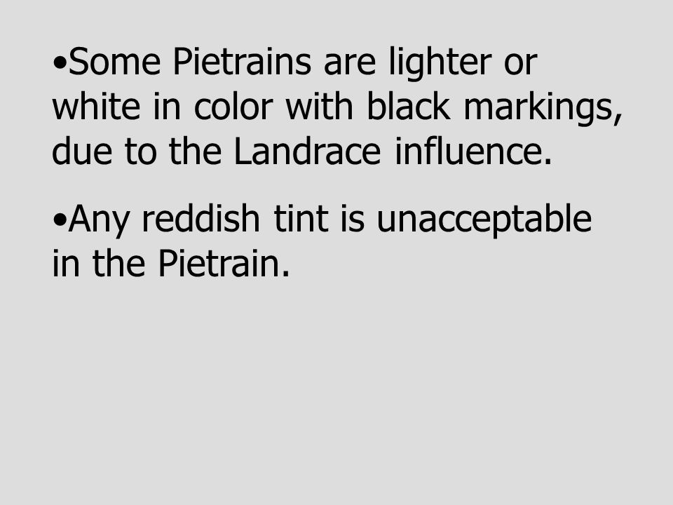 Some Pietrains are lighter or white in color with black markings, due to the Landrace influence.